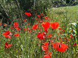 Mohn im April